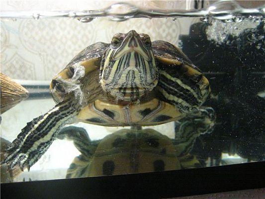 Лечится ли грибок у черепахи