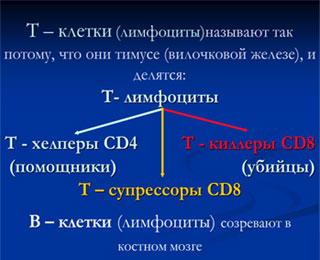 Функция лимфоцитов заключается в