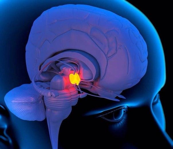 Функции эпифиза головного мозга
