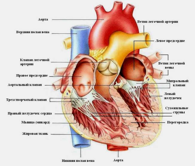 Фото сердца человека анатомия